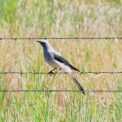 Coracina maxima (Ground Cuckoo-shrike) at Bribbaree, NSW - 14 Sep 2020 by Harrisi