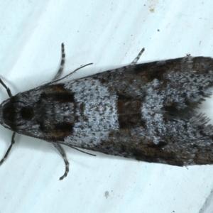 Lepidoscia heliochares at Ainslie, ACT - 7 Aug 2021