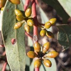 Eucalyptus bridgesiana (Apple Box) at Cook, ACT - 16 Aug 2021 by drakes