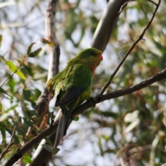 Polytelis swainsonii (Superb Parrot) at Oura, NSW - 19 Sep 2020 by Harrisi