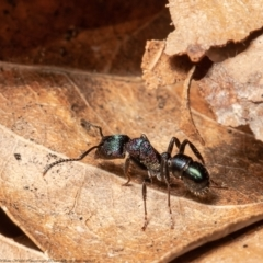 Rhytidoponera metallica (Greenhead ant) at Macgregor, ACT - 19 Aug 2021 by Roger
