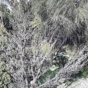 Allocasuarina verticillata (Drooping Sheoak) at Kingscote, SA by laura.williams