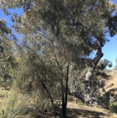 Allocasuarina verticillata (Drooping Sheoak) at Deakin, ACT - 14 Aug 2021 by Tapirlord