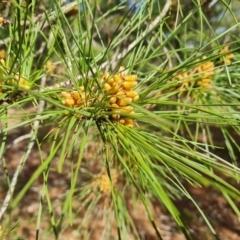 Pinus radiata (Monterey or Radiata Pine) at Isaacs, ACT - 20 Aug 2021 by Mike