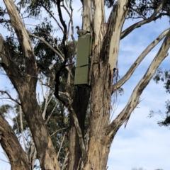Chenonetta jubata (Australian Wood Duck) at Garran, ACT - 18 Aug 2021 by ruthkerruish