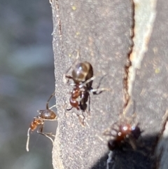 Papyrius sp. (genus) (A Coconut Ant) at Macarthur, ACT - 19 Aug 2021 by RAllen