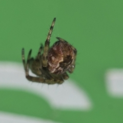 Cyclosa fuliginata (species-group) (An orb weaving spider) at Higgins, ACT - 21 Jul 2021 by AlisonMilton