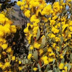 Acacia buxifolia subsp. buxifolia (Box-leaf Wattle) at Cook, ACT - 19 Aug 2021 by drakes
