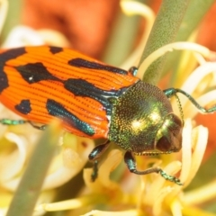 Unidentified Jewel beetle (Buprestidae) (TBC) at suppressed - 29 Sep 2019 by Harrisi
