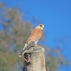 Falco cenchroides (Nankeen Kestrel) at Holt, ACT - 21 Aug 2021 by wombey