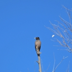 Acridotheres tristis (Common Myna) at Holt, ACT - 21 Aug 2021 by wombey