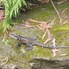 Intellagama lesueurii lesueurii (Eastern Water Dragon) at Blue Mountains National Park, NSW - 20 Feb 2021 by LD12