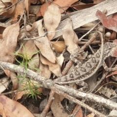 Rankinia diemensis (Mountain Dragon) at Woodford, NSW - 20 Feb 2021 by LD12