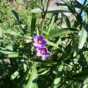 Solanum simile (TBC) at suppressed by laura.williams
