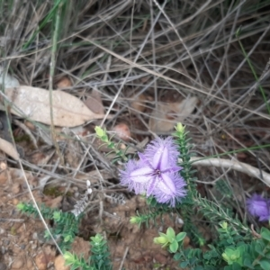 Thysanotus patersonii (Twining Fringe Lily) at Vivonne Bay, SA by laura.williams