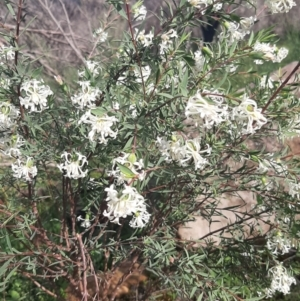 Pimelea sp. (TBC) at suppressed by laura.williams