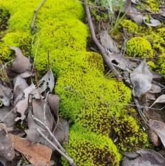 Unidentified Moss / Liverwort / Hornwort (TBC) at Jerrabomberra, NSW - 19 Aug 2021 by Speedsta