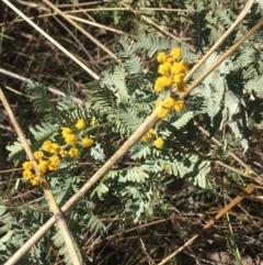 Acacia baileyana (Cootamundra Wattle, Golden Mimosa) at O'Connor, ACT - 15 Aug 2021 by Ned_Johnston