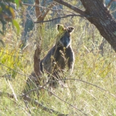 Wallabia bicolor (Swamp Wallaby) at Boro, NSW - 17 Aug 2021 by Paul4K