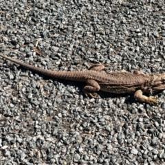 Pogona barbata (Bearded Dragon) at Aranda, ACT - 22 Aug 2021 by KMcCue