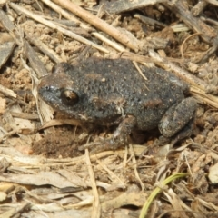Uperoleia laevigata (Smooth Toadlet) at Hawker, ACT - 21 Aug 2021 by Christine