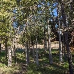 Brachychiton populneus subsp. populneus (Kurrajong) at Watson, ACT - 22 Aug 2021 by abread111