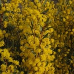 Acacia buxifolia subsp. buxifolia (Box-leaf Wattle) at Bruce, ACT - 21 Aug 2021 by pinnaCLE