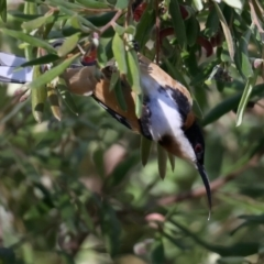 Acanthorhynchus tenuirostris (Eastern Spinebill) at Acton, ACT - 9 Aug 2021 by jbromilow50