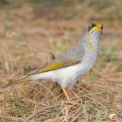 Manorina flavigula (Yellow-Throated Miner) at Yenda, NSW - 13 Apr 2009 by Harrisi