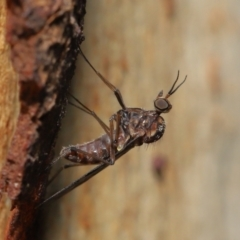 Sylvicola dubius (Wood-gnat) at Downer, ACT - 6 Aug 2021 by TimL