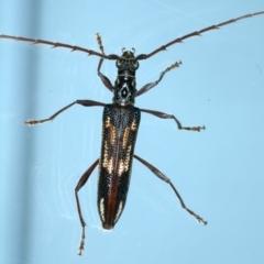 Coptocercus rubripes (Rubripes longhorn beetle) at Ainslie, ACT - 20 Aug 2021 by jbromilow50