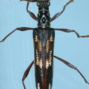 Coptocercus rubripes at Ainslie, ACT - 20 Aug 2021