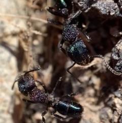 Rhytidoponera metallica (Greenhead ant) at Murrumbateman, NSW - 22 Aug 2021 by SimoneC