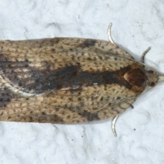 Epiphyas sp. (genus) (A Tortrid moth) at Ainslie, ACT - 19 Aug 2021 by jbromilow50