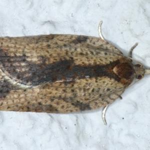Epiphyas sp. (genus) at Ainslie, ACT - 19 Aug 2021
