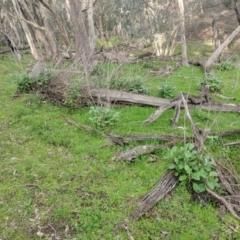 Senecio garlandii (Woolly Ragwort) at Gerogery, NSW - 27 Jul 2019 by Darcy