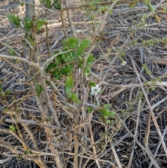 Lycium ferocissimum (African Boxthorn) at Leeton, NSW - 15 Apr 2019 by Darcy