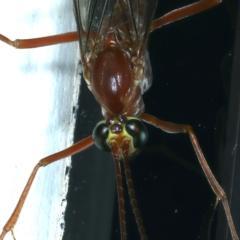 Netelia sp. (genus) (An Ichneumon wasp) at Ainslie, ACT - 20 Aug 2021 by jbromilow50