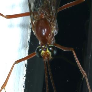 Netelia sp. (genus) at Ainslie, ACT - 20 Aug 2021