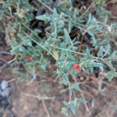 Atriplex semibaccata (Creeping Saltbush) at Leeton, NSW - 16 Apr 2019 by Darcy