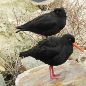 Haematopus fuliginosus (Sooty Oystercatcher) at American River, SA by Janeren