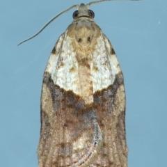 Epiphyas postvittana (Light Brown Apple Moth) at Ainslie, ACT - 27 Jul 2021 by jbromilow50