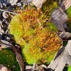Pottiaceae (TBC) at Holt, ACT - 19 Aug 2021 by drakes