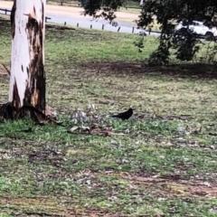 Corvus coronoides (Australian Raven) at Garran, ACT - 24 Aug 2021 by ruthkerruish