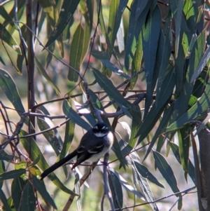 Rhipidura albiscapa (Grey Fantail) at Yando, VIC by Darcy