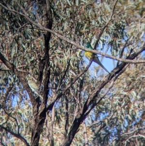 Psephotus haematonotus (Red-rumped Parrot) at Lake Meran, VIC by Darcy
