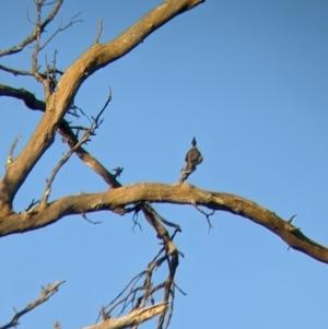 Philemon corniculatus (Noisy Friarbird) at Echuca, VIC by Darcy