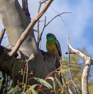 Psephotus haematonotus (Red-rumped Parrot) at suppressed by Darcy