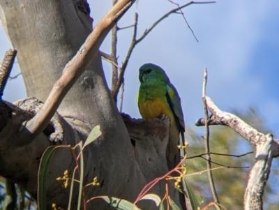 Psephotus haematonotus (Red-rumped Parrot) at Kerang, VIC - 15 Aug 2021 by Darcy