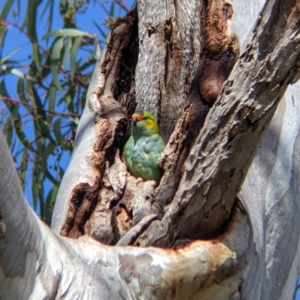 Unidentified Parrot (TBC) at suppressed by Darcy